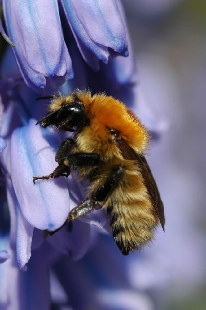 Saving our Bumblebees